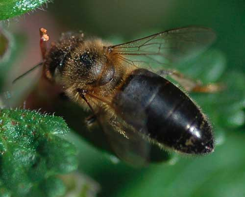 النحل الأسود